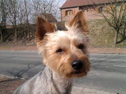 Gizmo Momo, chien Yorkshire Terrier
