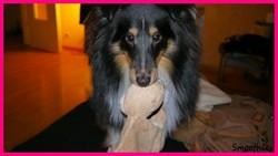 Gizz, chien Berger des Shetland