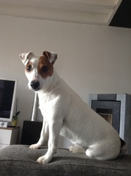 Gjumpy, chien Jack Russell Terrier