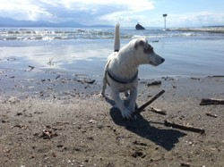 Gjumpy, chien Akita américain
