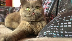 Gladou, chat Exotic
