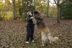 Gladwin-Gwyn De La Plaine D'Anjou, chien Leonberger