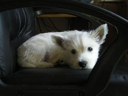 Gladys, chien West Highland White Terrier