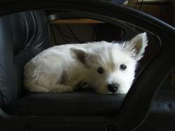 Gladys, chien West Highland White Terrier