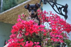 Gladys, chien Pinscher