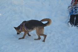 Gladys, chien Berger allemand