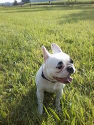 Gladys, chien Bouledogue français