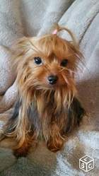 Gladys, chien Yorkshire Terrier