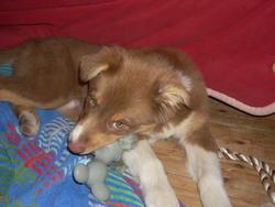 Gladys, chien Berger australien