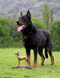 Gladys, chien Beauceron