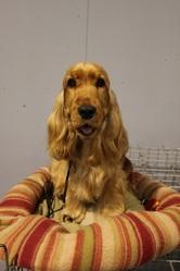 Gladys De Kermestr, chien Cocker anglais
