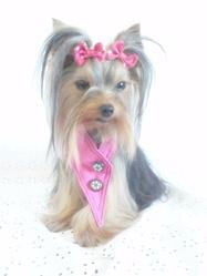 Glamour, chien Yorkshire Terrier