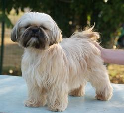 Glamour, chien Shih Tzu