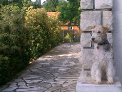 Glamour, chien Fox-Terrier
