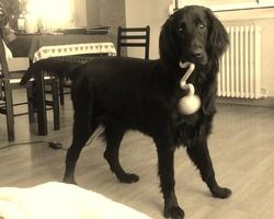 Glasgo, chien Flat-Coated Retriever