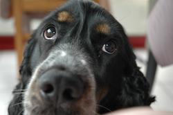 Glasgow, chien Cocker anglais