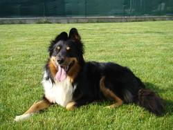 Glasgow, chien Berger australien