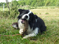 Gleam, chien Border Collie