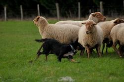 Glen, chien Border Collie
