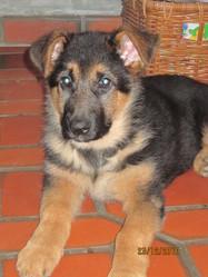 Glenny, chien Berger allemand