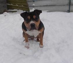 Glimpse, chien American Staffordshire Terrier