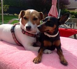 Glinis, chien Parson Russell Terrier