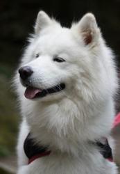 Glinka, chien Samoyède