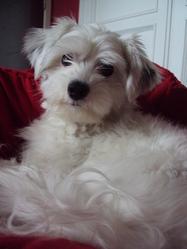 Glitch, chien Bichon maltais