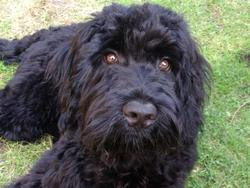 Globul, chien Chien d'eau portugais