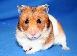 Razmo, rongeur Hamster