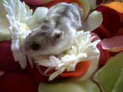 Globule, rongeur Hamster