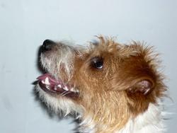 Globule, chien Parson Russell Terrier