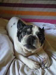 Globule, chien Bouledogue français