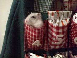 Globulle, rongeur Hamster