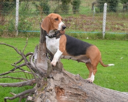 Gloops Du Val Des Terrils, chien Basset artésien normand