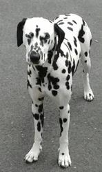 Gloria, chien Dalmatien