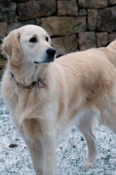 Gloria, chien Golden Retriever