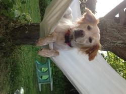 Gloria, chien Épagneul breton