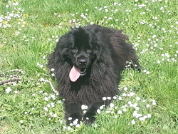 Fany, chien Terre-Neuve