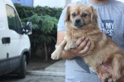 Gloria, chien Pékinois