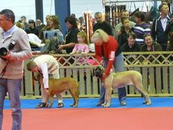 Gloria, chien Mastiff