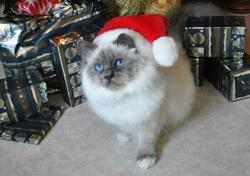 Gloria, chat Birman