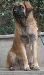 Gloria De La Plaine D'Anjou, chien Leonberger