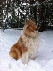 Gloria Lassie , chien Colley à poil long