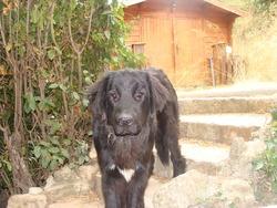 Gloria, chien Terre-Neuve