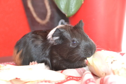 Chipinette, rongeur Cochon d'Inde