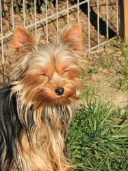 Glory, chien Yorkshire Terrier