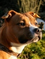 Glory, chien American Staffordshire Terrier