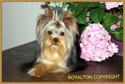 Glory Of Love De L'elpazeor, chien Yorkshire Terrier