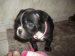 Gloss, chien Bouledogue français
